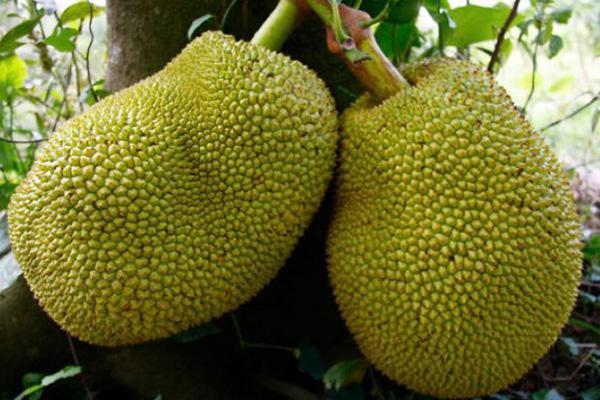 جک فروت ، میوه های استوایی عجیب