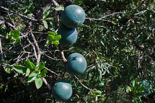 پرتقال میمون ، میوه های استوایی عجیب دنیا