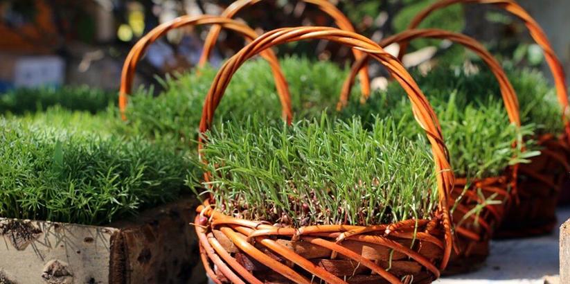 نحوه کاشت سبزه عید با گندم