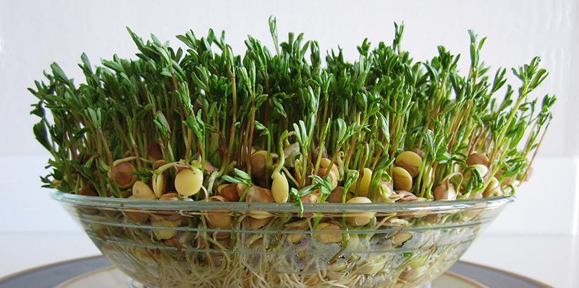 نحوه کاشت سبزه عید با عدس